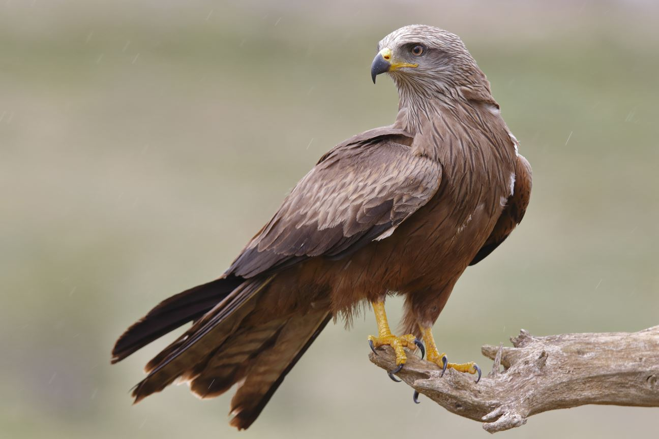 A Black Kite looking for its next prey